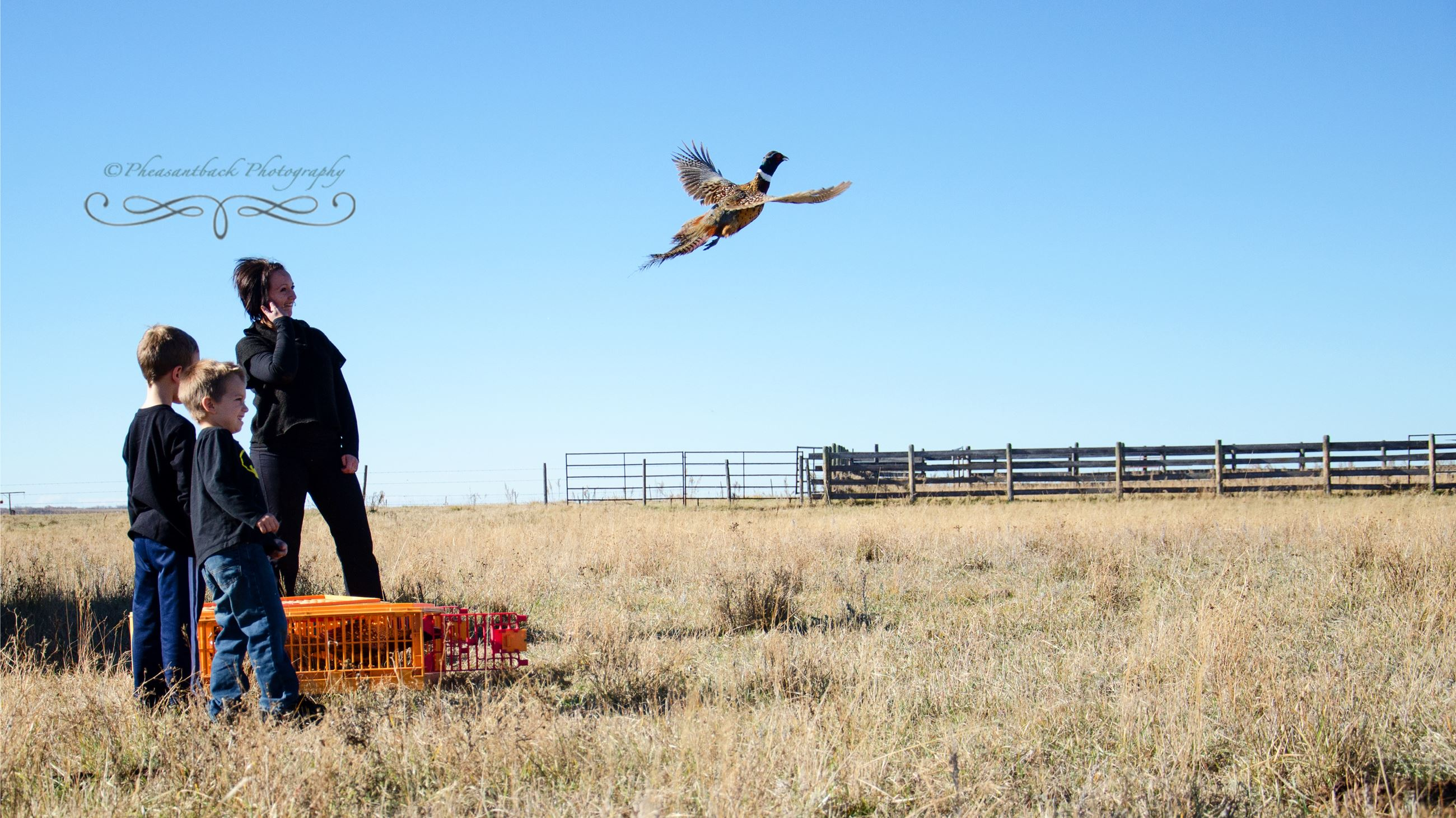 Pheasant Release- Pheasantback Photography